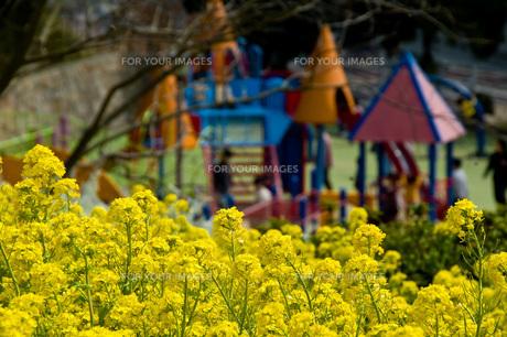 菜の花 FYI00449347