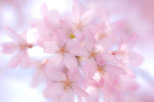 桜 FYI00449360