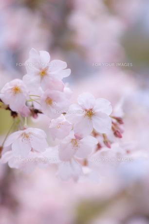 桜 FYI00449361