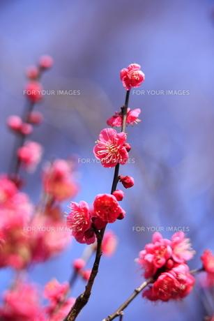 春の花 紅梅 FYI00451459