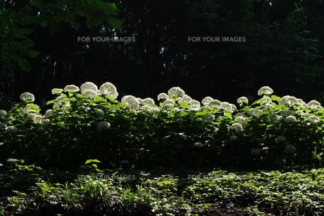 光る紫陽花 FYI00454491
