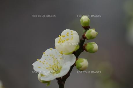 梅の花 FYI00454504