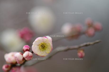 梅の香り FYI00454528