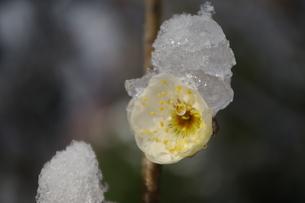 雪と梅の花 FYI00454535
