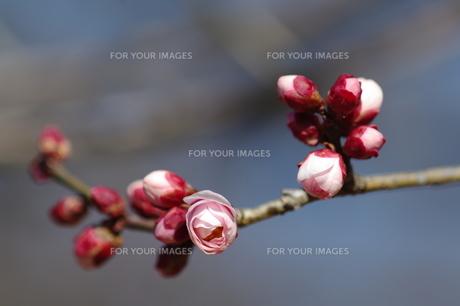 梅の開花 FYI00454547