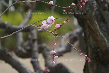 梅の枝 FYI00454573