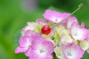 紫陽花と桜の実 FYI00454807