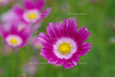 紫のコスモス FYI00454938
