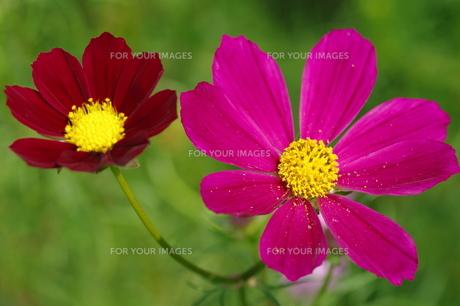 赤と紫のコスモス FYI00454945