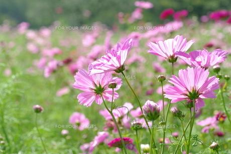 コスモスの花が眩しい FYI00454957