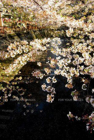 目黒川の桜 FYI00455304