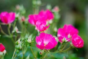 数輪の薔薇 FYI00455432