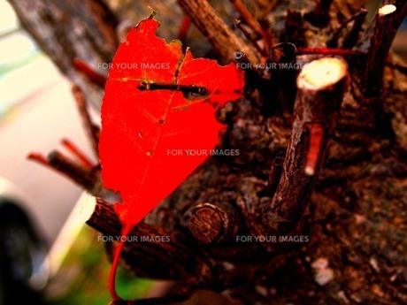 紅葉ハート FYI00456081