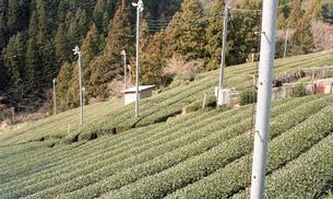 お茶畑 FYI00456390