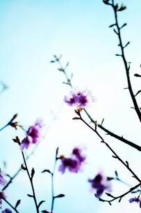 桜 FYI00456525