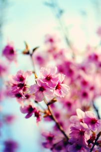 桜 FYI00456555