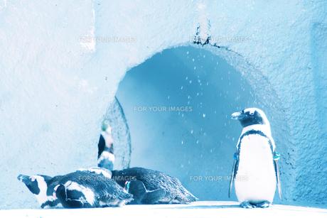 ペンギンの水浴び FYI00456578