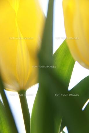黄色いチューリップ FYI00456810