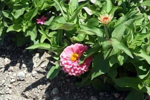 ピンクの百日草の花 FYI00458391