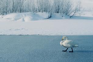 歩く白鳥 FYI00460671