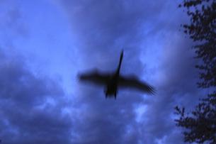 黄昏の飛翔 白鳥 古徳沼湖沼群の中里沼にて FYI00461574
