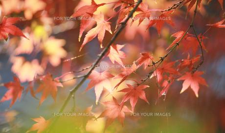 淡い紅葉 FYI00461670