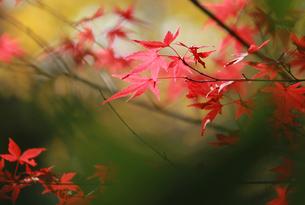 渋い紅葉 FYI00461689