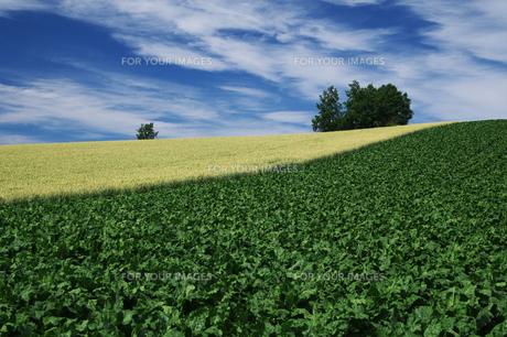 ビート畑と麦畑 FYI00464313