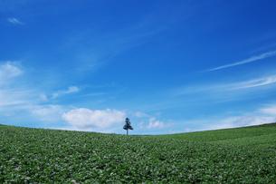 美瑛のジャガイモ畑の一本の木 FYI00464315