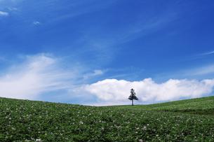 美瑛の丘の一本の木 FYI00464316