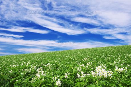 じゃがいも畑と青空 FYI00464318