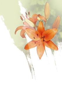 オレンジ色の百合 FYI00466122