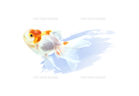 金魚 FYI00466138