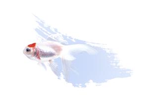 金魚 FYI00466161