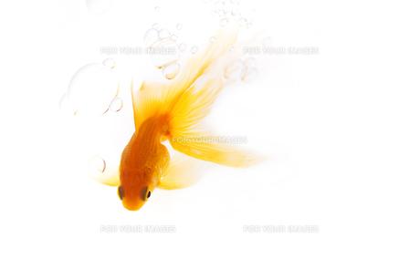 金魚 FYI00469321