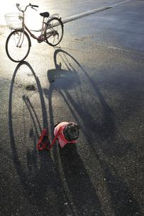自転車とパグ犬 FYI00469611