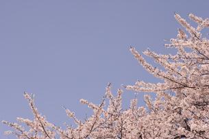 青空と桜 FYI00469640