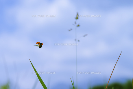 飛んでいるテントウ虫 FYI00469864