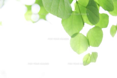 新緑の葉と木漏れ日 FYI00470176