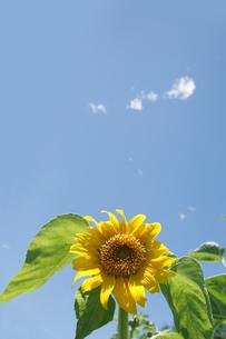 向日葵と空 FYI00470198