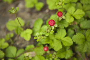 赤い実のなる植物 FYI00470264