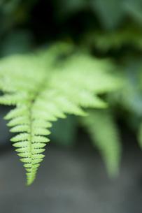 シダ植物 FYI00470392
