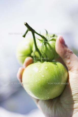 緑のトマトを持つ手 FYI00470537