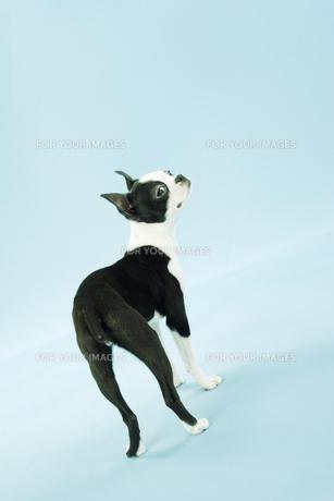 振り返るボストンテリアの子犬 FYI00471031