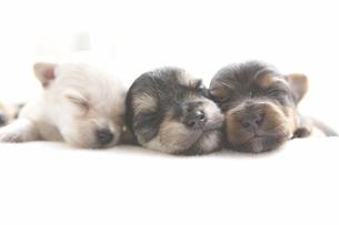シーツの上で眠る3匹の子犬 FYI00471240