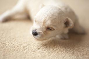 シーツの上に寝そべる子犬 FYI00471532