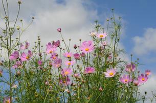 コスモスの花 FYI00472296