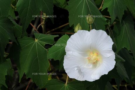 フヨウの花 FYI00472313