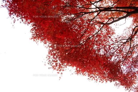 紅葉 FYI00472940