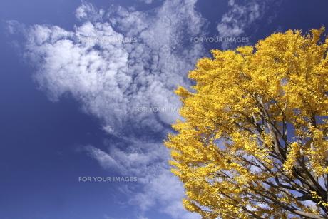 青空と黄葉した木 FYI00473234